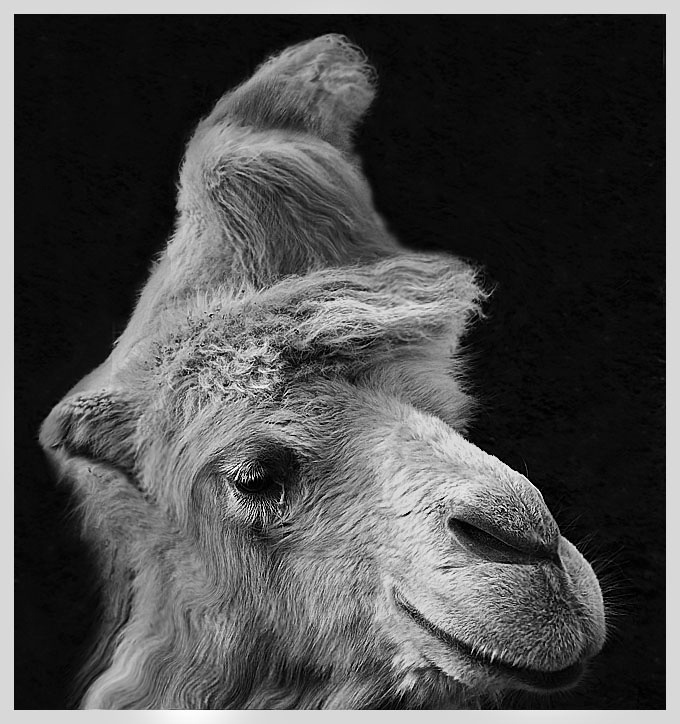 "photo ""The camel portrait :)"" tags: nature, pets/farm animals"