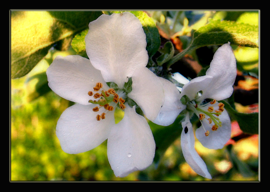 "photo ""Apple  tree."" tags: nature, flowers"