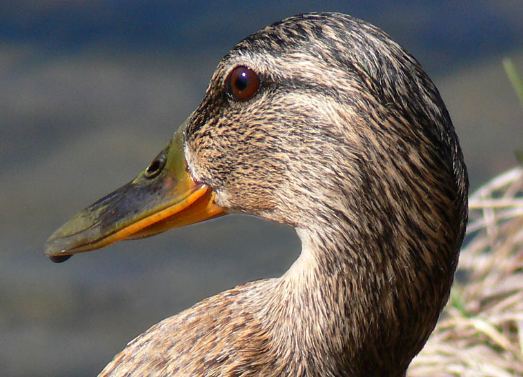 "photo ""Duck"" tags: nature, pets/farm animals, wild animals"