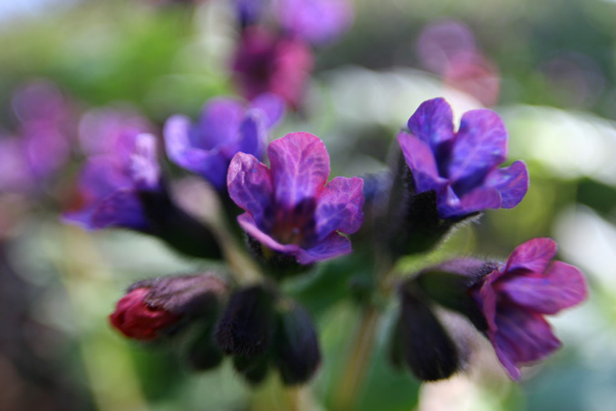 "photo ""Lungwort"" tags: nature, flowers"