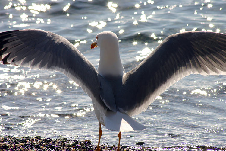 "photo ""Seagull"" tags: nature, wild animals"