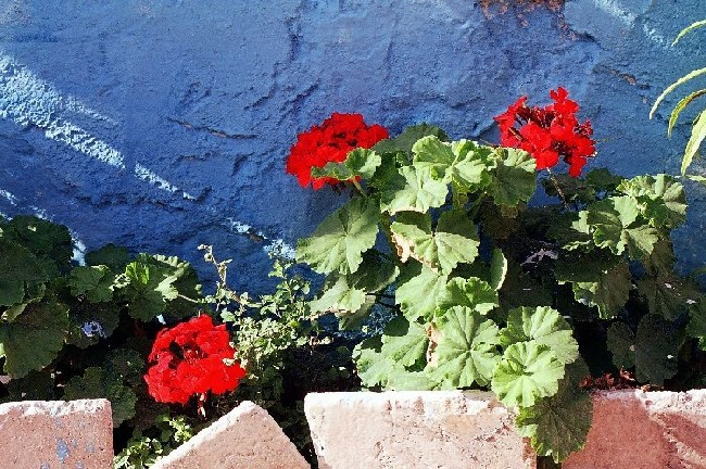 "photo ""Red Geraniums..."" tags: nature, flowers"