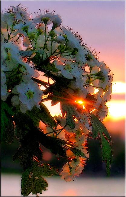 """фото """"поймать солнце ..."""" метки: природа, цветы"""