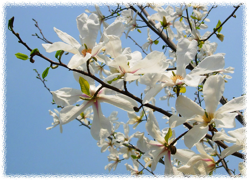 "photo ""Magnolia"" tags: nature, flowers"