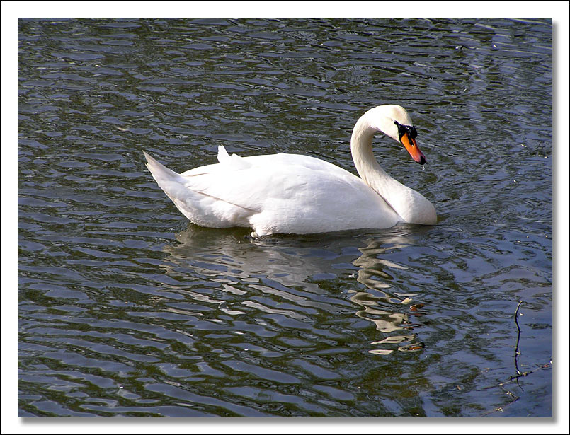 "photo ""The Swan"" tags: nature, genre,"