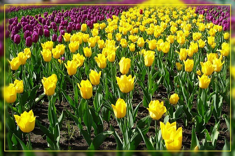 "photo ""Tulips"" tags: nature, flowers"