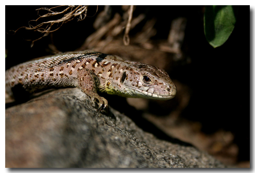 "photo ""Lizard"" tags: nature, macro and close-up, wild animals"