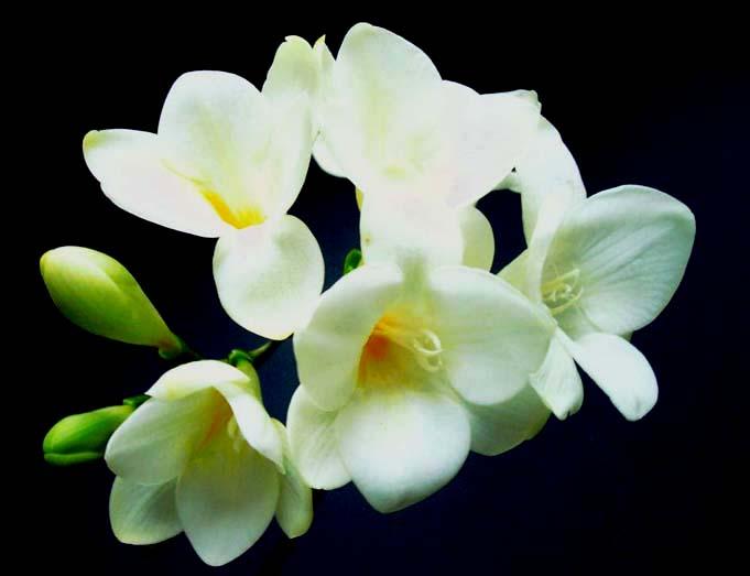 """фото """"Freesia """" Snow Queen """""""" метки: макро и крупный план, природа, цветы"""