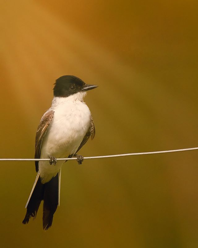 "photo ""Fork-tailed Flycatcher"" tags: nature, wild animals"