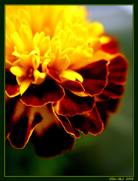 "photo ""Crimson-yellow remembrance"" tags: nature, macro and close-up, flowers"