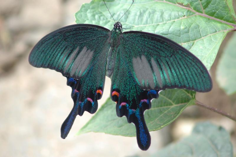 "photo ""Graphium"" tags: nature, insect"