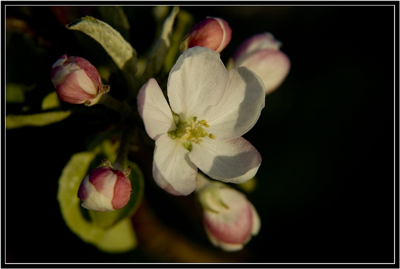 "photo ""Apple Tree Flower at the Sunset"" tags: nature, landscape, flowers, sunset"
