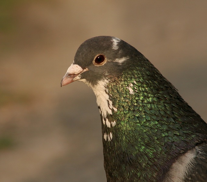 "photo ""Pigeon"" tags: nature, wild animals"