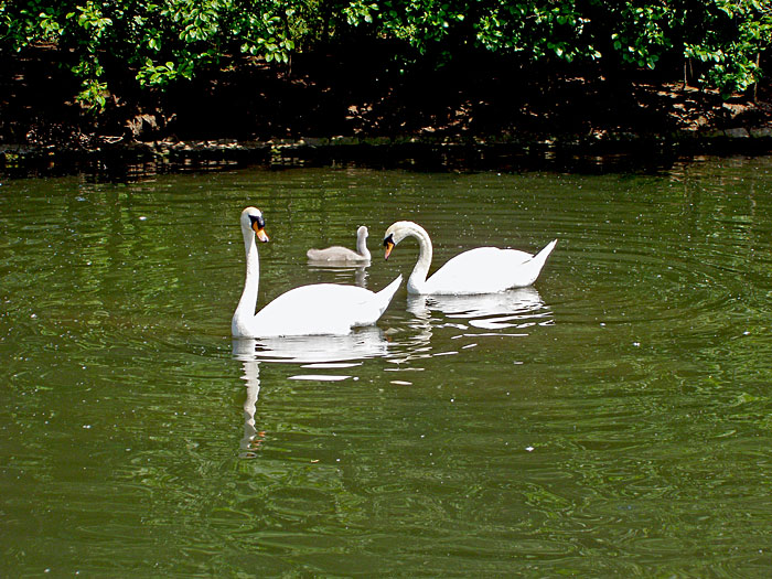 "photo ""Swans"" tags: landscape, water"