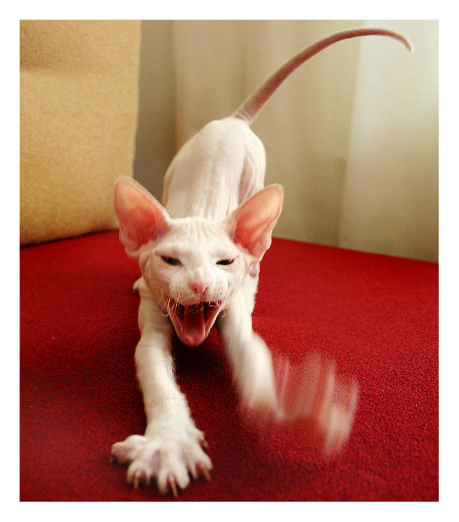 """фото """"Хулиганский кот"""" метки: природа, жанр, домашние животные"""