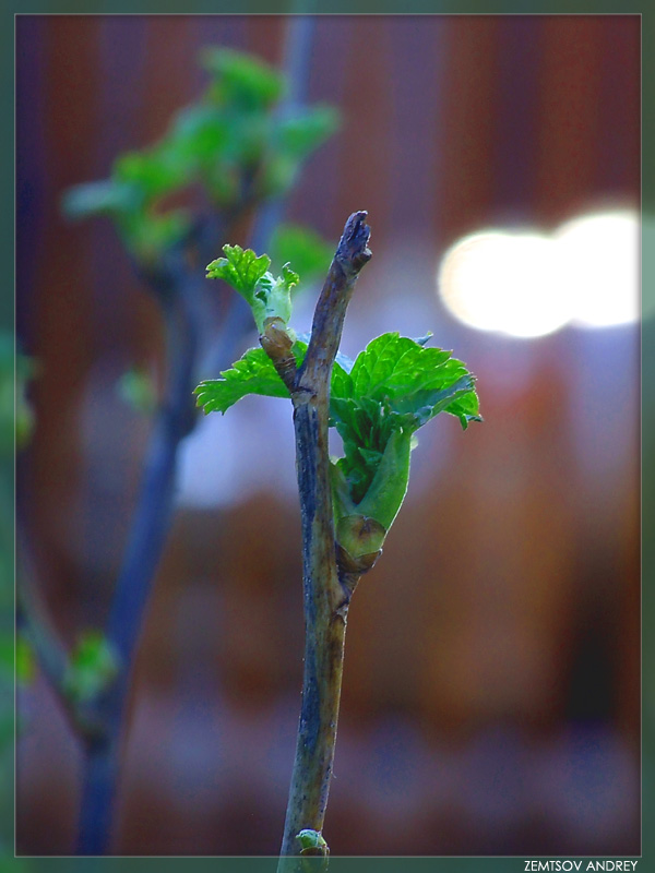 "photo ""Young leaves..."" tags: landscape, macro and close-up, spring"