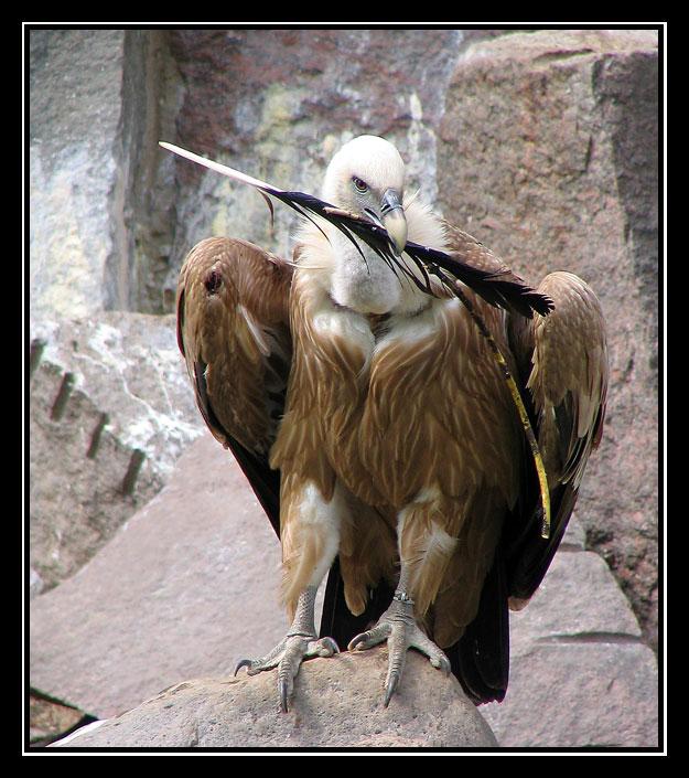 """photo """"White-headed predator"""" tags: nature, wild animals"""