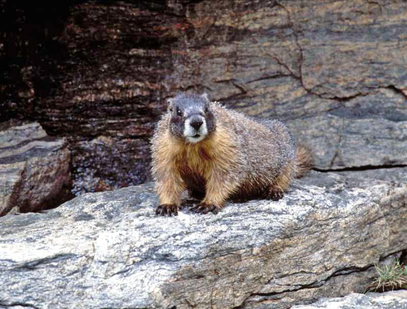 "photo ""Marmot"" tags: nature, wild animals"