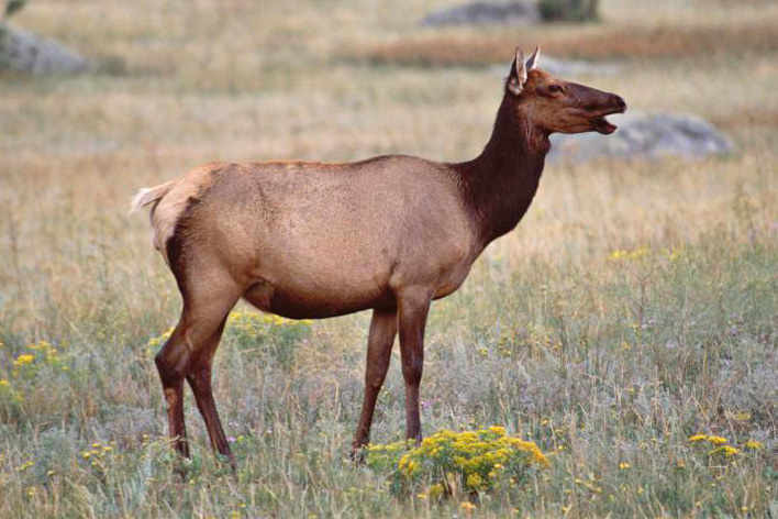 "photo ""Elk1"" tags: nature, wild animals"