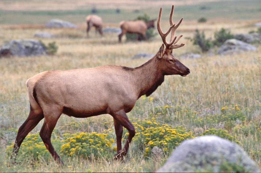 "photo ""Elk4"" tags: nature, wild animals"
