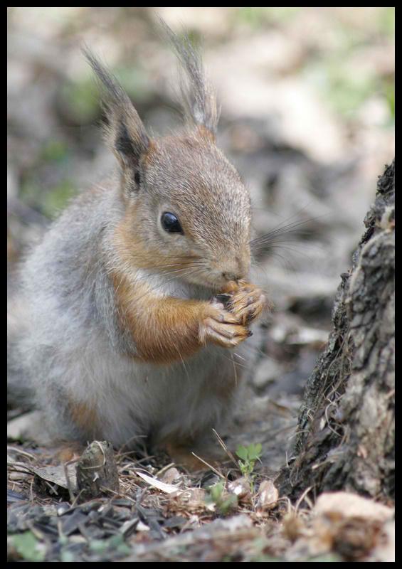 """фото """"Вкусные  орешки..."""" метки: природа, дикие животные"""