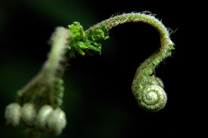 """фото """"Samambaia"""" метки: природа, макро и крупный план, цветы"""