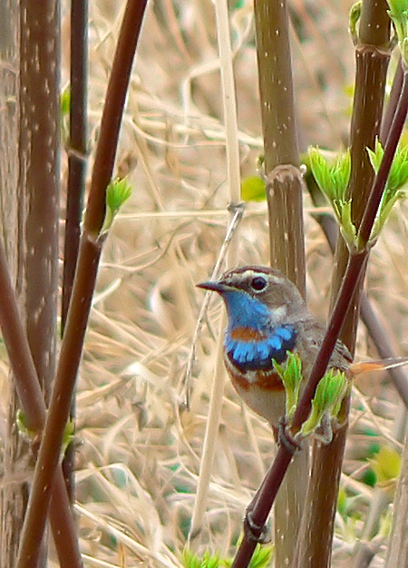 "photo ""Bluethroat"" tags: ,"