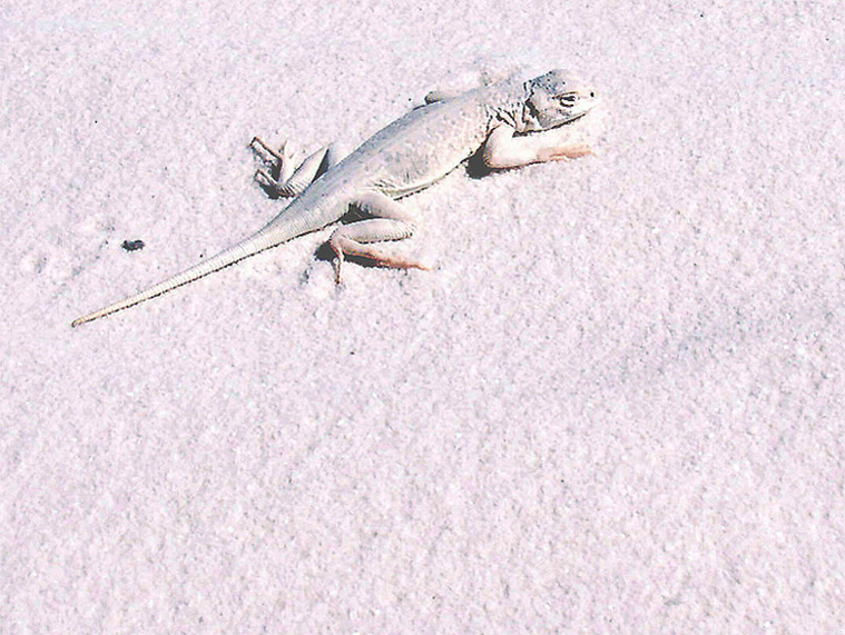 """photo """"Bleached Earless Lizard"""" tags: nature, travel, North America, wild animals"""