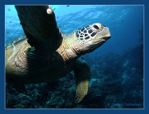 "photo ""Under turtle's wing"" tags: underwater, nature, wild animals"