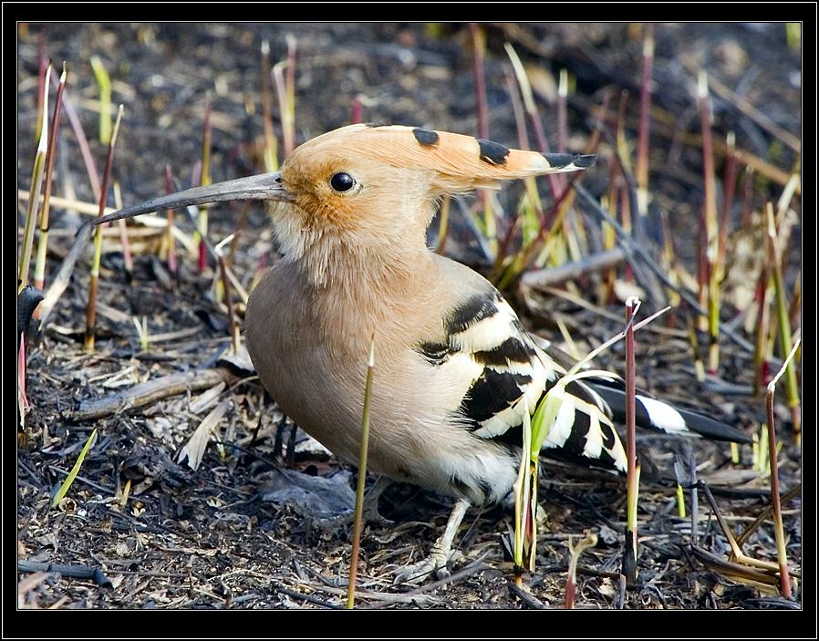 "photo ""hoopoe"" tags: nature, wild animals"