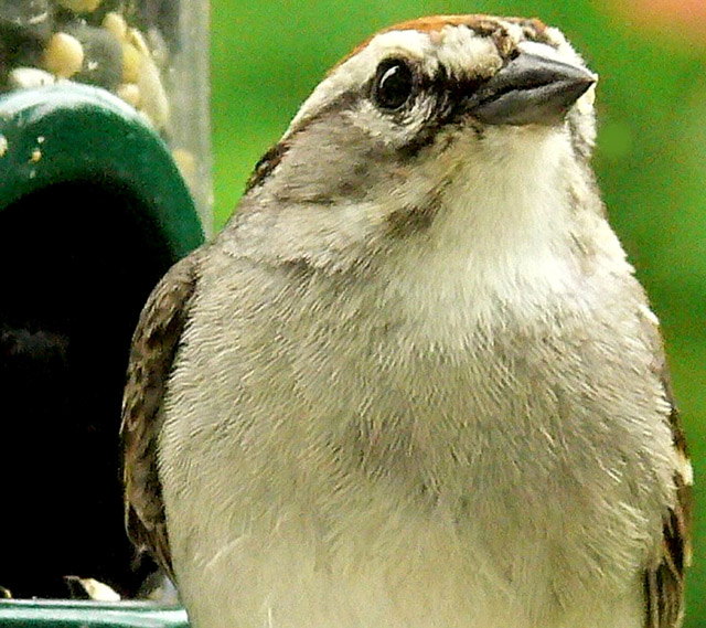 """photo """"Chipping Sparrow"""" tags: nature, wild animals"""
