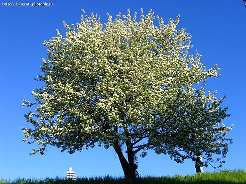 """photo """"Flowering tree"""" tags: landscape, nature,"""