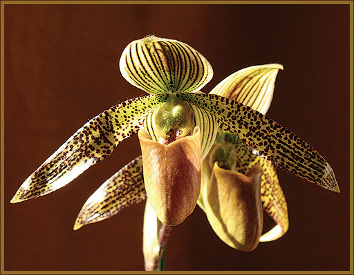 "photo ""Orchid"" tags: nature, flowers"