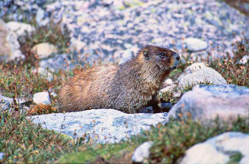 "photo ""Marmot in colorado"" tags: nature, wild animals"