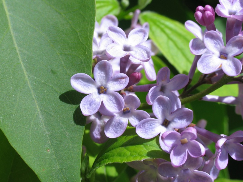 "photo ""lilac"" tags: nature, macro and close-up, flowers"