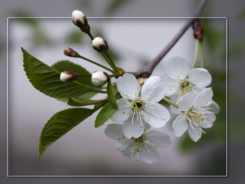 """photo """"The Cherry Flowers"""" tags: nature, flowers"""