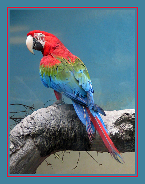 "photo ""Red-and-green macaw"" tags: nature, wild animals"
