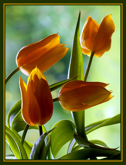 "photo ""Dancing Tulips"" tags: nature, flowers"