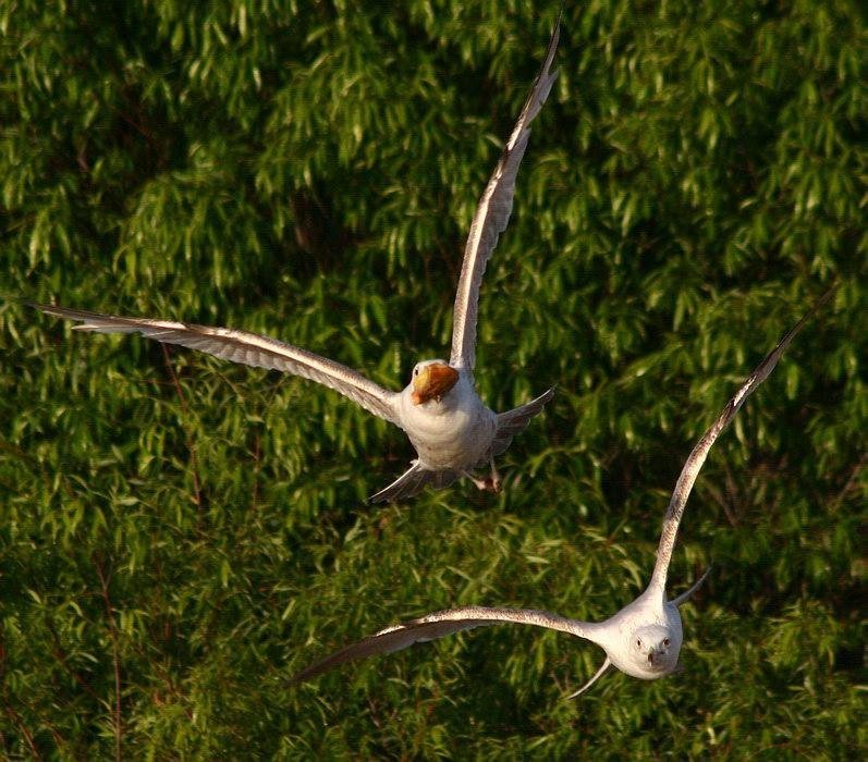 """фото """"Fight in the air"""" метки: природа, дикие животные"""