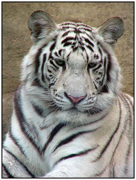 Фотография Белый тигр - фотограф Яранта.  Использована фототехника.  Белый тигр - цветовая вариация бенгальского...