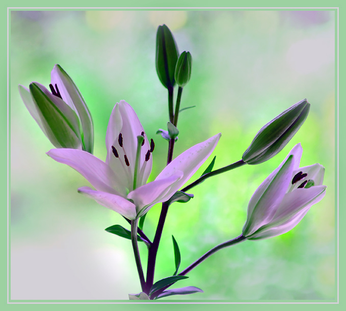 "photo ""LILLIES"" tags: nature, flowers"