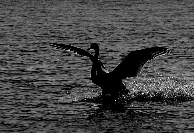 "photo ""Swan"" tags: nature, wild animals"
