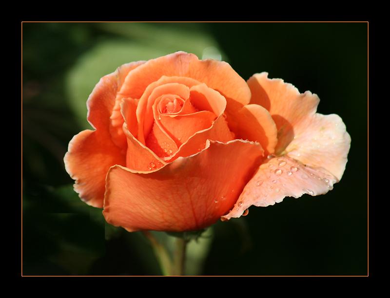 "фото ""Raindrops on Roses"" метки: природа, цветы"