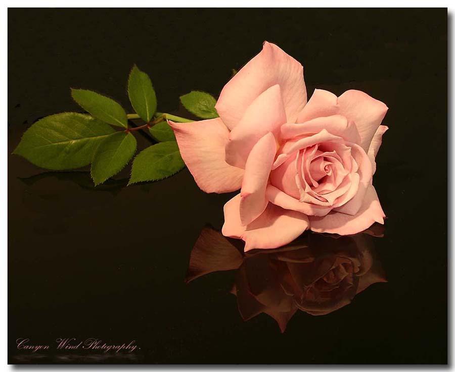 Пожелания вечера роза