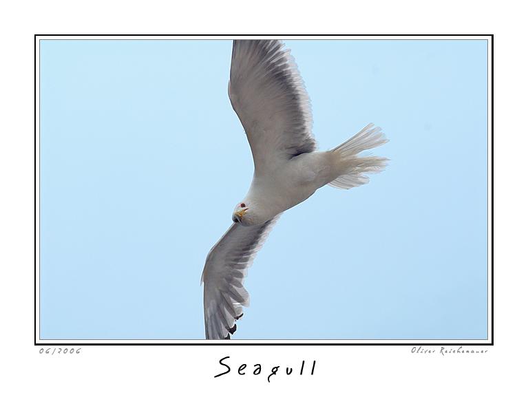 "фото ""Seagull"" метки: природа, дикие животные"