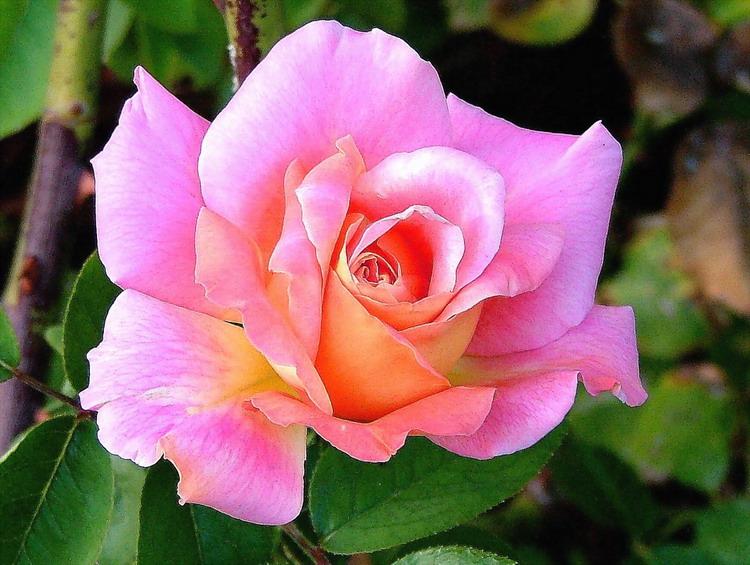 "фото ""Another Rose"" метки: природа, цветы"