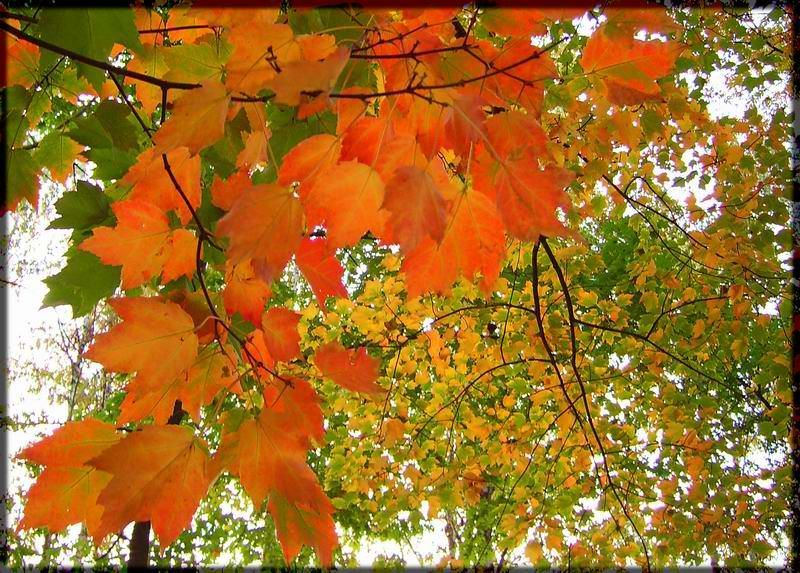 """photo """"Autumn fire"""" tags: landscape, nature, autumn, flowers"""