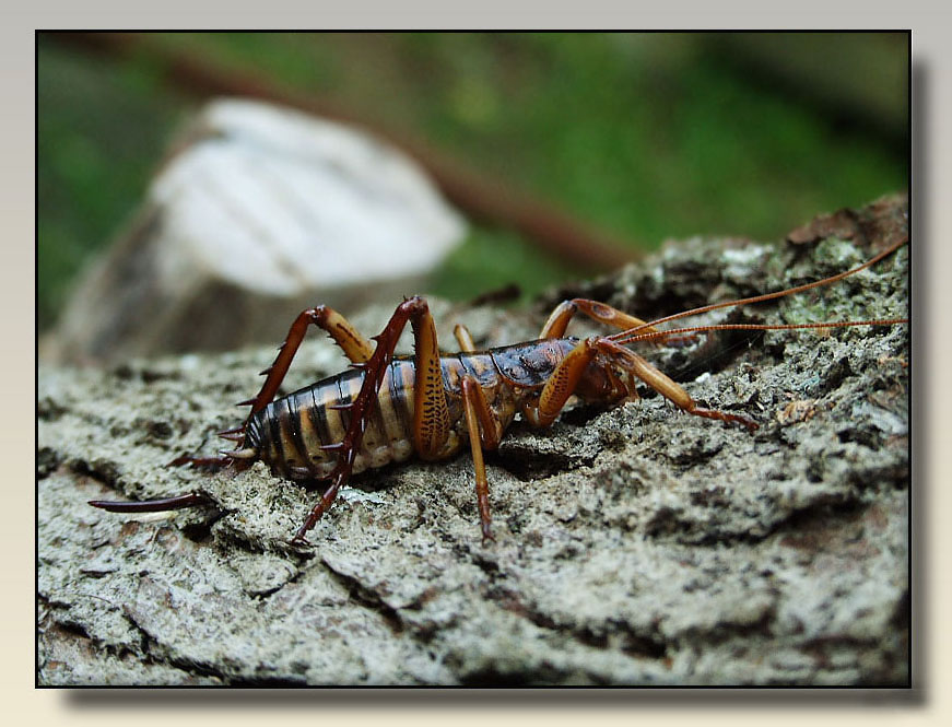 """photo """"Weta"""" tags: nature, insect"""