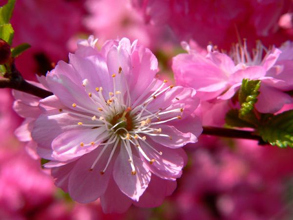 """фото """"Сакура"""" метки: природа, цветы"""