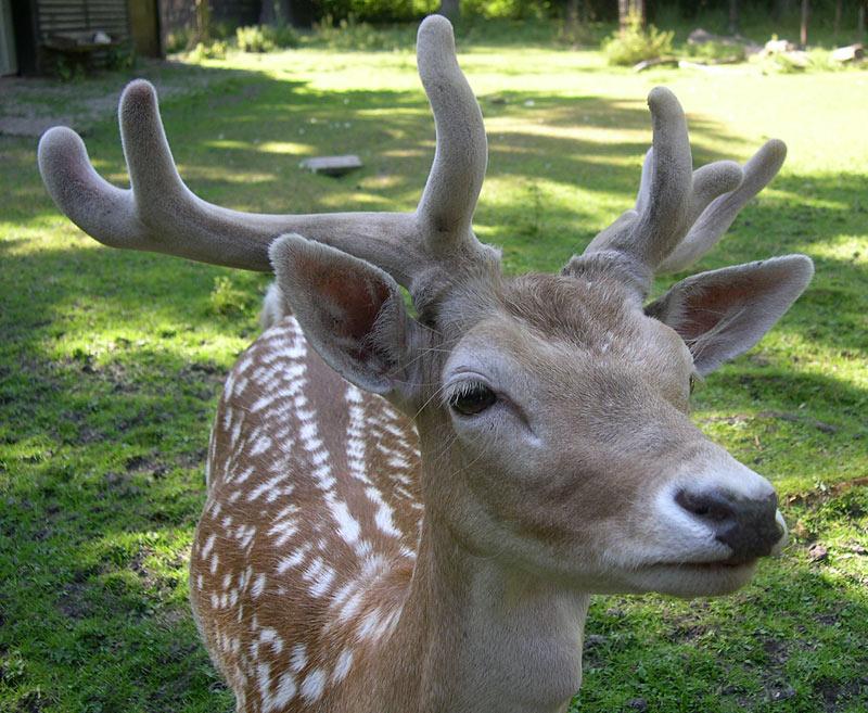"""фото """"плюшевые рога =)"""" метки: портрет, природа, дикие животные"""